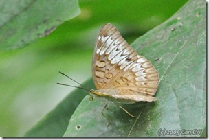Tanaecia palguna consanguinea-MyBunker_20090809_4106-480