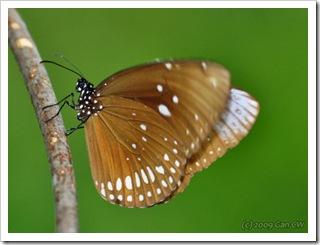 Euploea core gordatii-Th_SoppongLimeStoneHill_20090904_5083-480