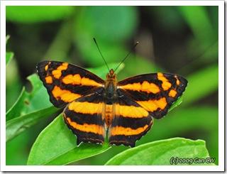 Symbrenthia lilaea luciana-Th_ThamLotCave_20090901_5736-480