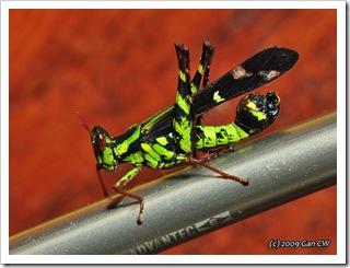 Grasshopper-Th_SoppongRiverInn_20090903_5212-640