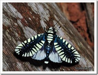 NOC-Apsarasa radians-Th_CaveLodge_20090903_5381-640