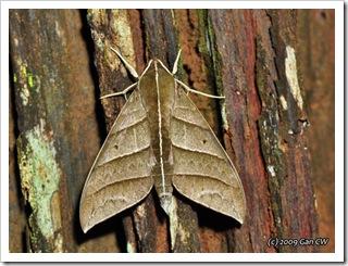 Ampelophaga dolichoides-Th_CaveLodge_20090903_5156-640