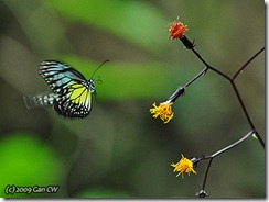 Yellow Glassy Tiger - Parantica aspasia aspasia