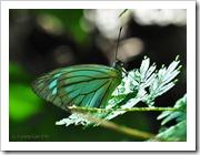 Pareronia valeria lutescens (m)-MYFHRub_20091126_D3416-480
