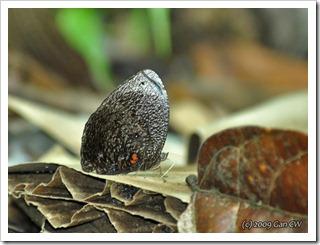 Elymnias esaca andersonii (m)-MYFHRub_20091127_D3549-640