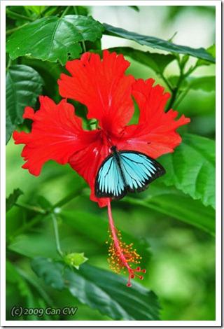 Pareronia valeria lutescens (m)-MYFHRub_20091127_D3572-480