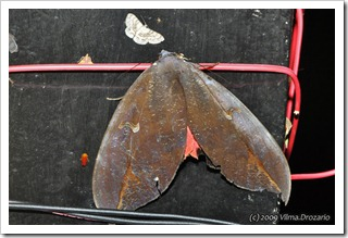 Phyllodes verhuelli-MYFH_200911-640