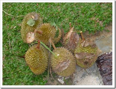 Durian-20100630_DSC01537