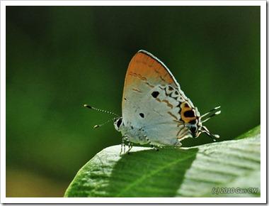 Chliaria othona othona-MYGopeng_20100701_D8997