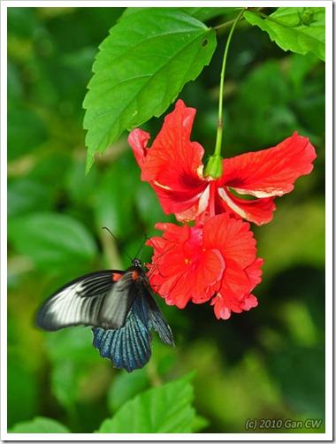 Papilio memnon agenor -f esperi-MYGuaTempurong_20100629_D8419