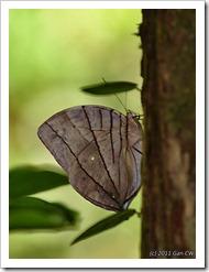Amathuxidia amythaon dilucida-MYFHRaub_20110501_D0641-480