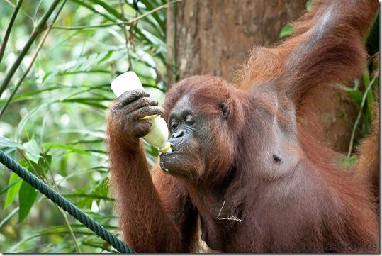 Semengoh Orangutan Rehabilitation Center 41