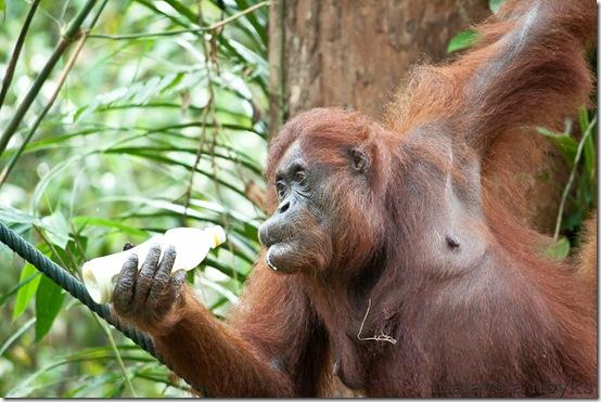 Semengoh Orangutan Rehabilitation Center 43