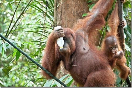 Semengoh Orangutan Rehabilitation Center 47