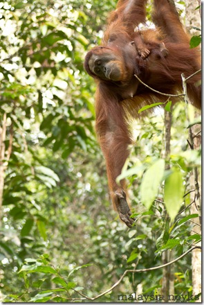 Semengoh Orangutan Rehabilitation Center 5