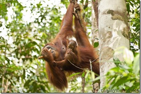 Semengoh Orangutan Rehabilitation Center 7