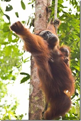 Semengoh Orangutan Rehabilitation Center 8