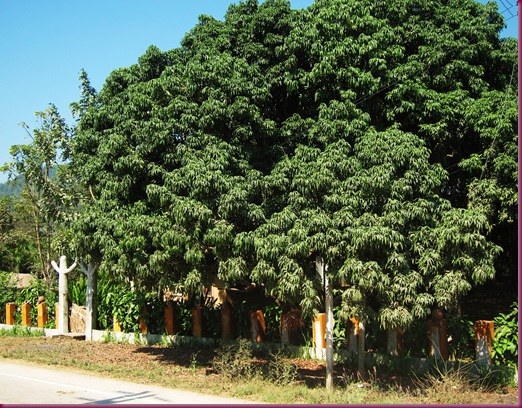 mae taeng elephant park longan tree