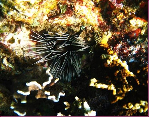 boracay sea urchin