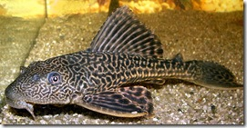 pleco-or-plecostomus