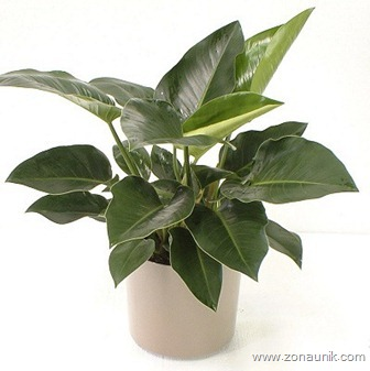 Philodendron_Congo2