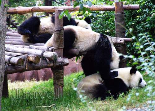 china-giant-panda-chengdu