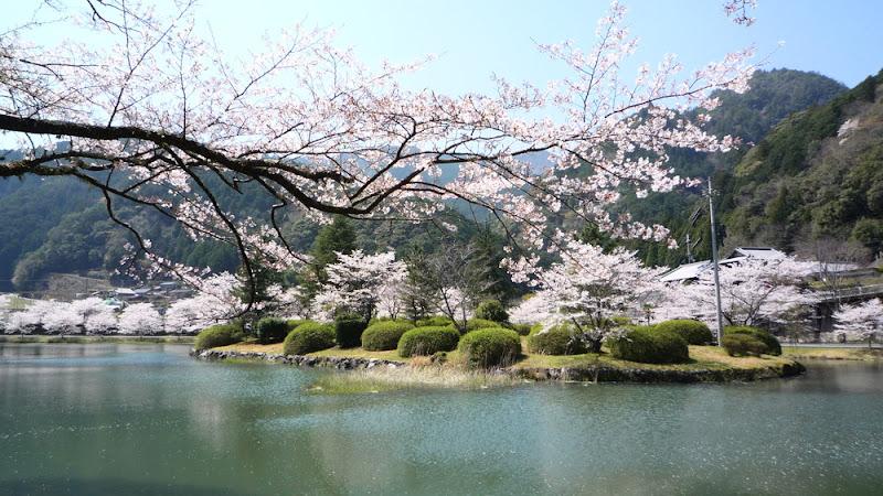 Nara Shimokitayama hanami Sakura Matsuri 奈良 下北山 花見 桜 祭り