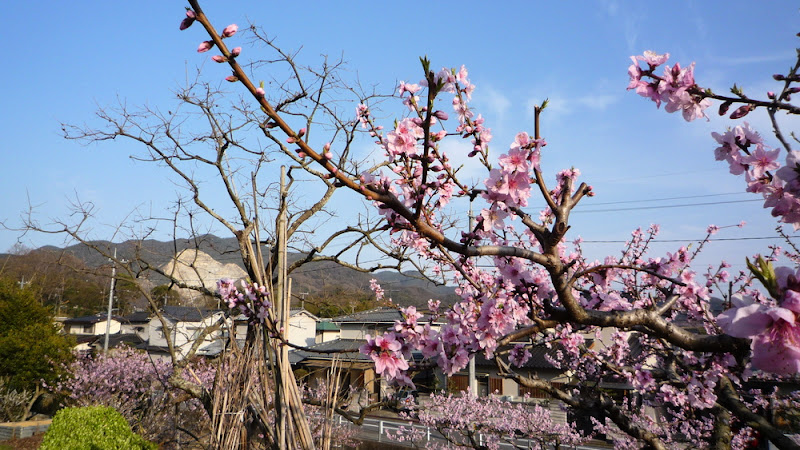 岡山, Okayama, 桃, melocotón, melocotonero, peach, 花見, hanami