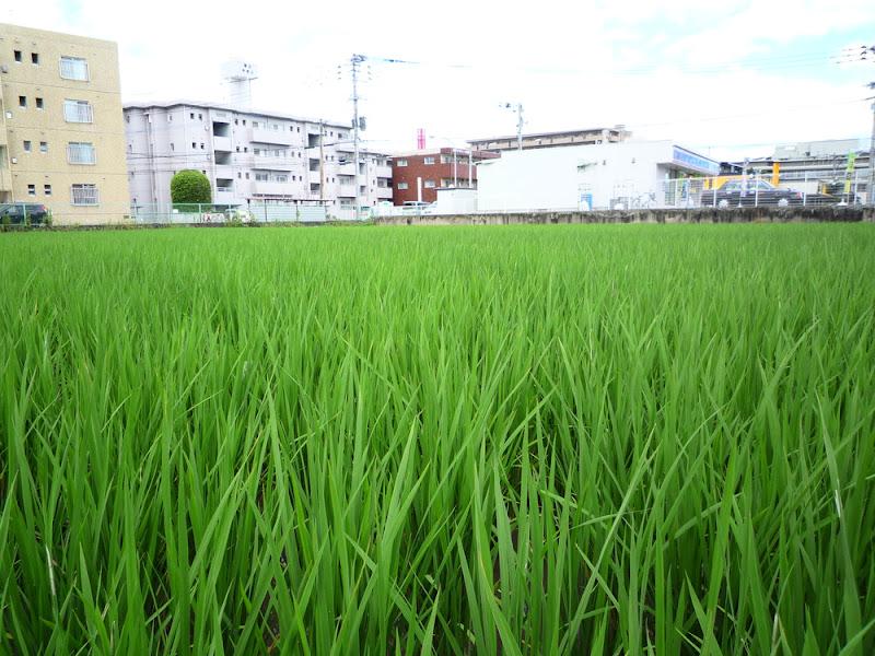 Espigas de arroz 稲穂