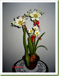 IMG_0316 Narcissus