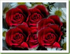 multi roses blog