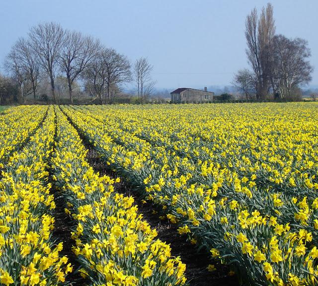 upware daffodils.jpg