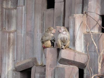Los babuinos con sus problemas de faldas... ¡eso pasa por tener más de una!