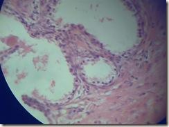 Cuboidal epithilium histology slide
