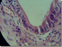 Simple columnar histology