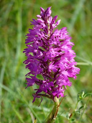 identification orchidée sauvage P1060005