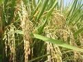 rice-beras