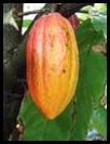 cocoa_indonesia