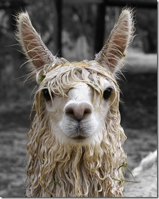 Bad Hair Day - Lysander the soggy suri