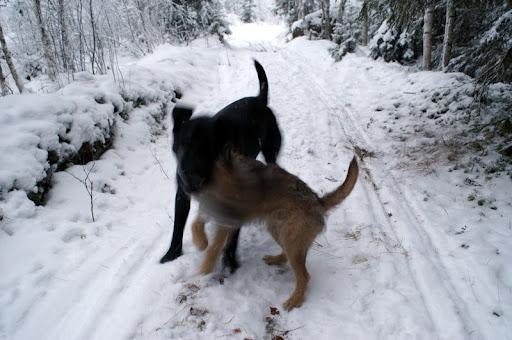 Labradorinnoutajan ja borderterrierin paini