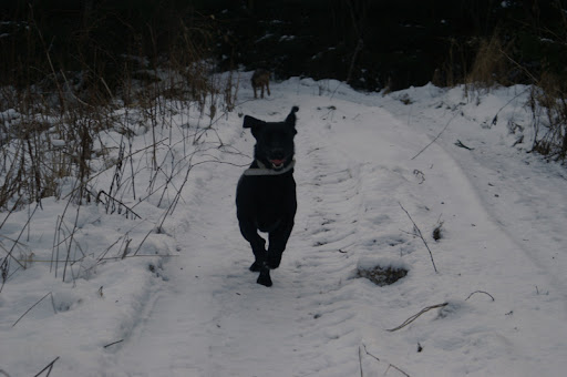 labradorinnoutaja juoksee