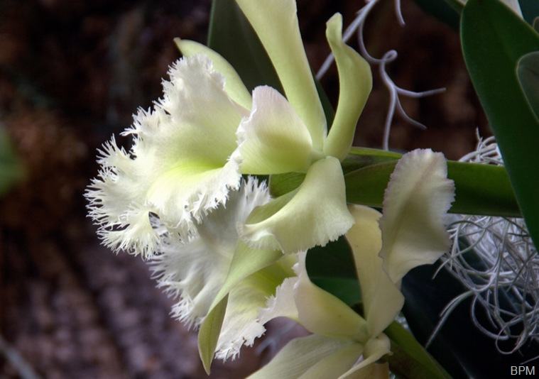 orchid27A
