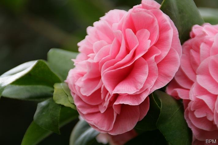 camelliad1