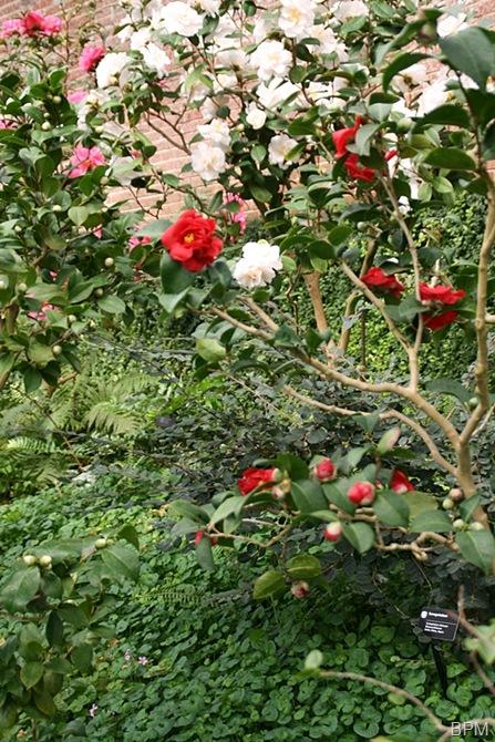 camelliaE