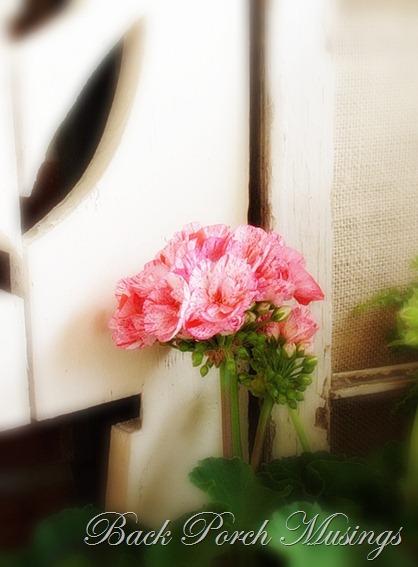 geraniumshuttera