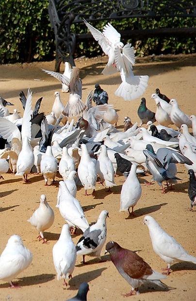 piccioni5