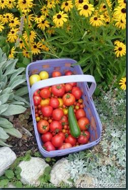 Shawna's garden tomatoes