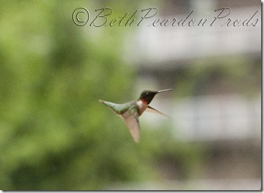 Hummingbird021blog