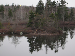 Beaver dam on an island in a Halifax lake