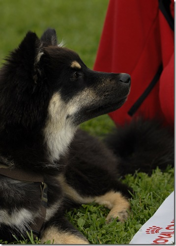 Lapphund utst Biri09_1782_edited-1